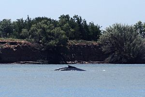Delta the whale, who swam to Sacramento River 70 miles from the ocean in May, 2007