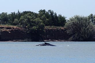 Rio Vista, California - Delta the Whale in the Sacramento River