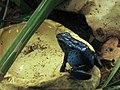 Dendrobates azureus - Rana venenosa (6812908334).jpg