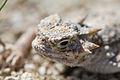 Desert Horned Lizard (Phrynosoma platyrhinos); Pinto Wells - 12488937245.jpg