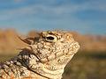 Desert Horned Lizard (Phrynosoma platyrhinos).jpg