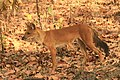 Dhole or Wild dog (73).jpg