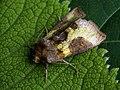 Diachrysia stenochrysis (40397440434).jpg