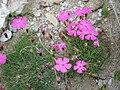 Dianthus pavonius001.jpg
