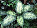 Dieffenbachia bauseii a1.jpg