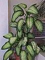 Dieffenbachia seguine-02.jpg
