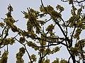 Dillenia pentagyna flowering by Dr. Raju Kasambe DSCN1362 (29).jpg