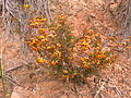 Dillwynia sericea 6.jpg