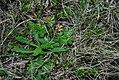 Diposis saniculaefolia- Soriano, Palmar, Entre rocas en ladera de pequeño cerro cercano a Palmar 26.jpg