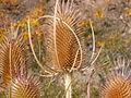 Dipsacus fullonum (5006019449).jpg