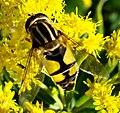 Diptera (2764325826).jpg