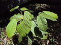 Dipterocarpus bourdillonii 03.JPG