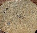 Dischistus tertiarius N. THEOBALD Holotype.jpg