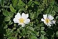 Dogrose (white) - geograph.org.uk - 842579.jpg