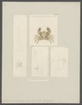 Domecia hispida - - Print - Iconographia Zoologica - Special Collections University of Amsterdam - UBAINV0274 094 18 0009.tif