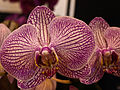 Doritaenopsis'SogoCherry'1-TorontoOrchidShow-April11-09.jpg