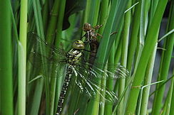 Dragonfly and exuvia.jpg