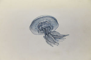 Charles Alexandre Lesueur - Drawing of jellyfish by Lesueur