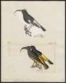 Drepanis pacifica - 1700-1880 - Print - Iconographia Zoologica - Special Collections University of Amsterdam - UBA01 IZ19000223.tif