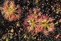 Drosera pygmaea (2943653133).jpg