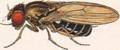 Drosophila virilis male.png