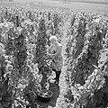Druivenplukster aan het werk, Bestanddeelnr 254-4153.jpg