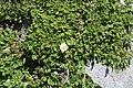 Dryas octopetala var. asiatica s2.jpg