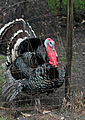Dudley Farm turkey.jpg