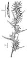Dulichium arundinaceum NRCS-2.png