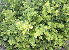 240px dune crowberry   rhus crenata   south africa 2