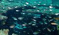 Dusky-tailed Cardinalfishes (Archamia macroptera) (8502520063).jpg