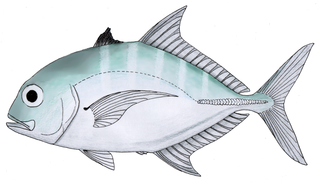Duskyshoulder trevally species of fish
