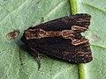Dypterygia scabriuscula - Bird's wing - Травянистая совка бурая (39312907860).jpg