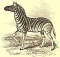 EB1911 Zebra - Equus burchelli.jpg