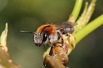 Andrena - Image: Early mining bee (Andrena haemorrhoa) Cumnor