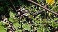 Eastern Garter Snake (Thamnophis sirtalis sirtalis) - Mississauga, Ontario 2015-05-14.jpg