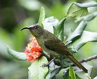 Eastern Olive Sunbird (Nectarinia olivacea)