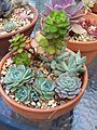 Echeveria Elegans, Echeveria Anemone, Pachyphytum Compactum, Sedeveria Letizia (5849667226).jpg
