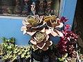 Echeveria hybrids-2-seetha eliya-Sri Lanka.jpg