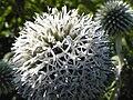 Echinops sphaerocephalus OM39.jpg