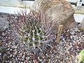 Echinopsis ferox c-3311 - 01.jpg
