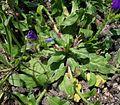 Echium plantagineum plant9 (13918984632).jpg