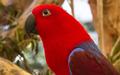 Eclectus Parrot-1 (11423535145).png