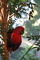 Eclectus Parrot (Eclectus roratus) -female in tree.jpg