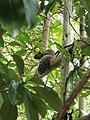 Ecureuil du Japon à Hase-dera.jpg