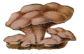 Edible Fungi 07.png