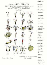From 1736, an illustration of Linnaean classification.