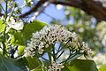 Ehretia dicksonii fleurs.jpg