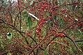 Elaeagnus-umbellata-berries.jpg