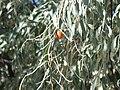 Elaeagnus angustifolia Fruto 2010-10-26 ArboretoParqueElPilarCiudadReal.jpg